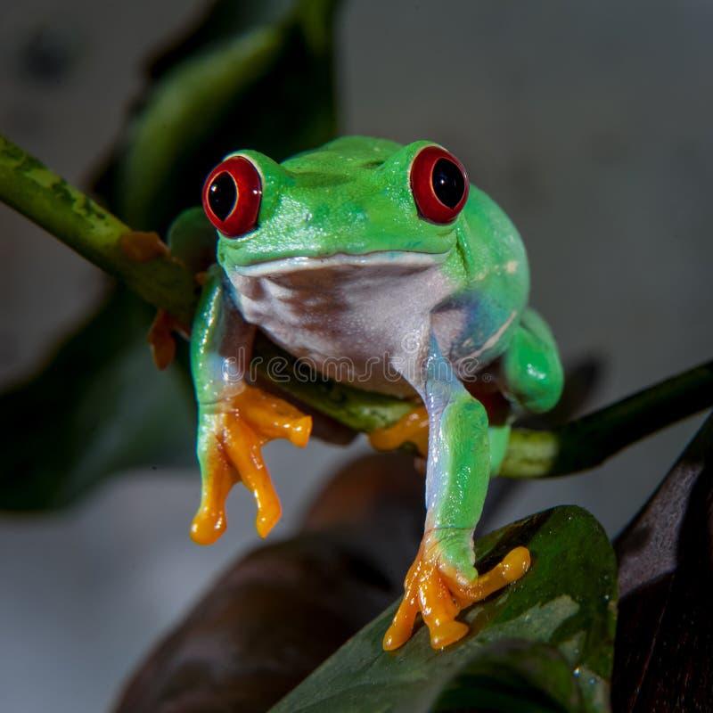 美丽的红眼睛的雨蛙 免版税图库摄影