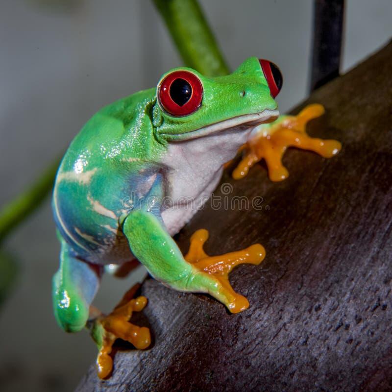 美丽的红眼睛的雨蛙 库存图片