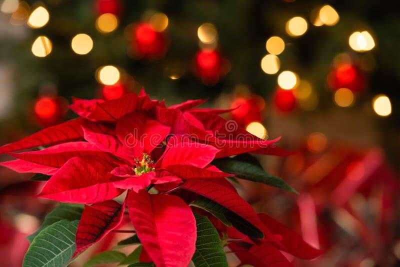 美丽的红色一品红花,圣诞节星 库存照片