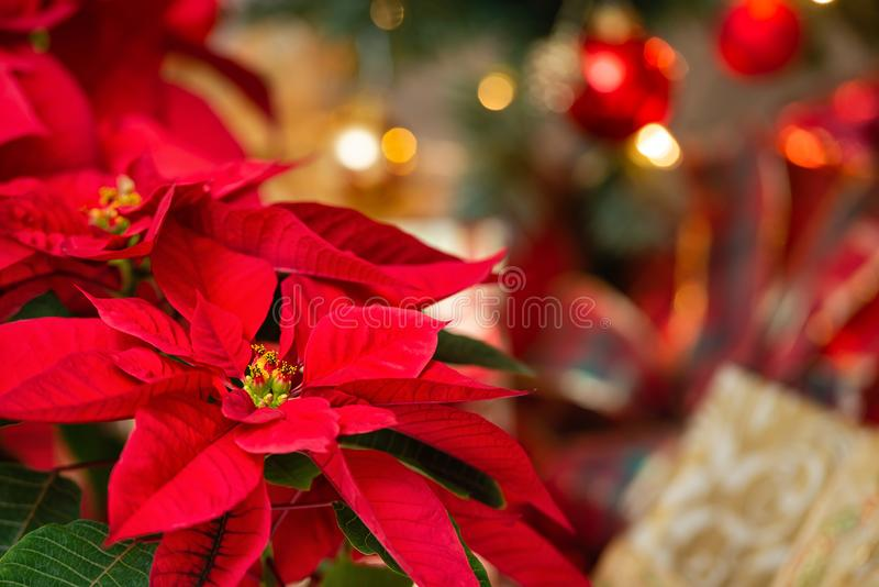 美丽的红色一品红花,圣诞节星 免版税库存照片