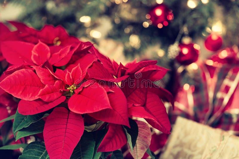 美丽的红色一品红花,圣诞节星 图库摄影