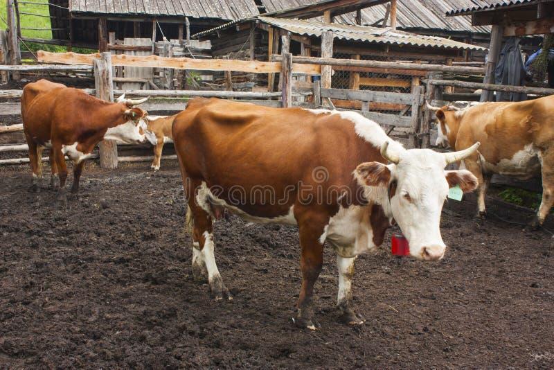 美丽的红色和白色母牛在农场的小牧场站立 库存图片
