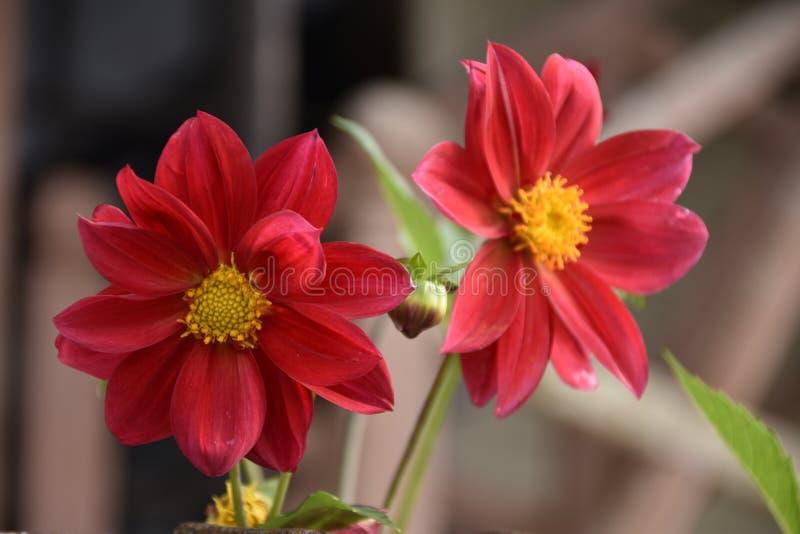 美丽的红色大丽花早晨 库存照片