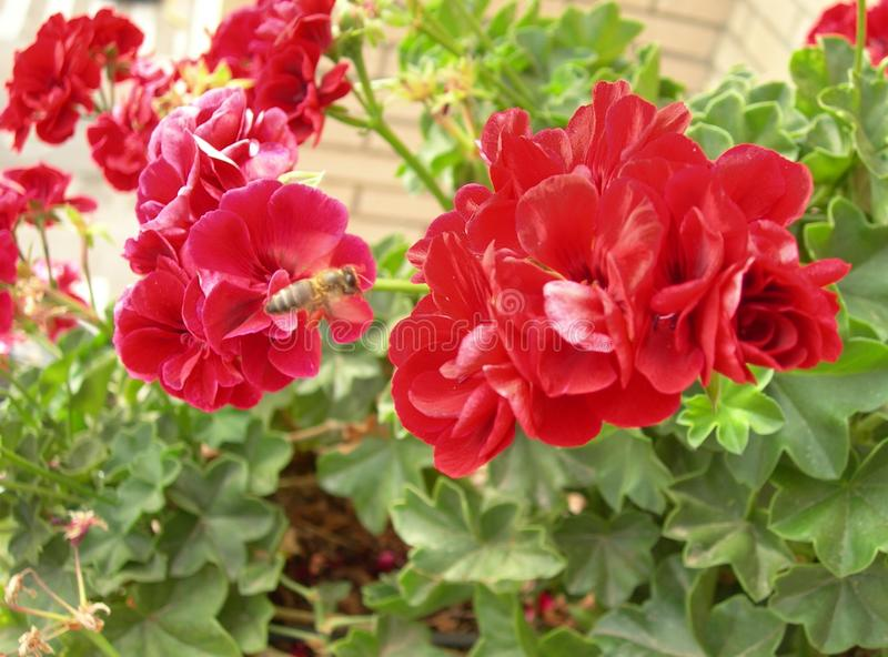 美丽的红色大竺葵 蜂飞行 图库摄影