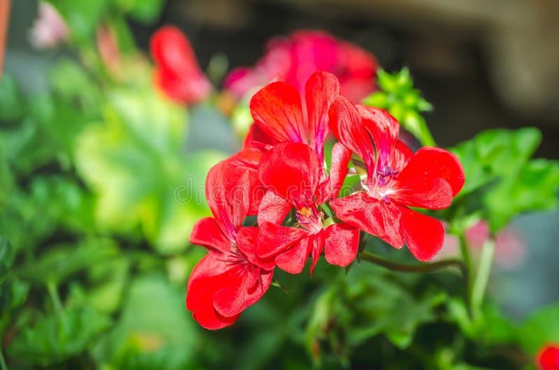 美丽的红色或桃红色大竺葵天竺葵花在有柔光和绿色植物的庭院里作为背景,关闭 免版税库存照片