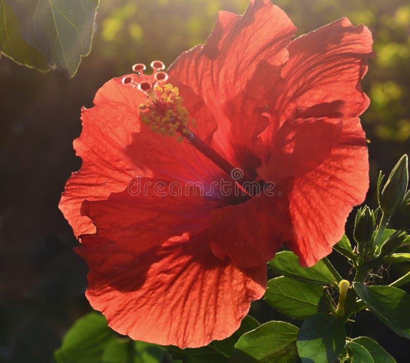 美丽的红色木槿花中国在特内里费岛上升了, Gudhal, Chaba,鞋子花,加那利群岛,西班牙庭院里  库存照片