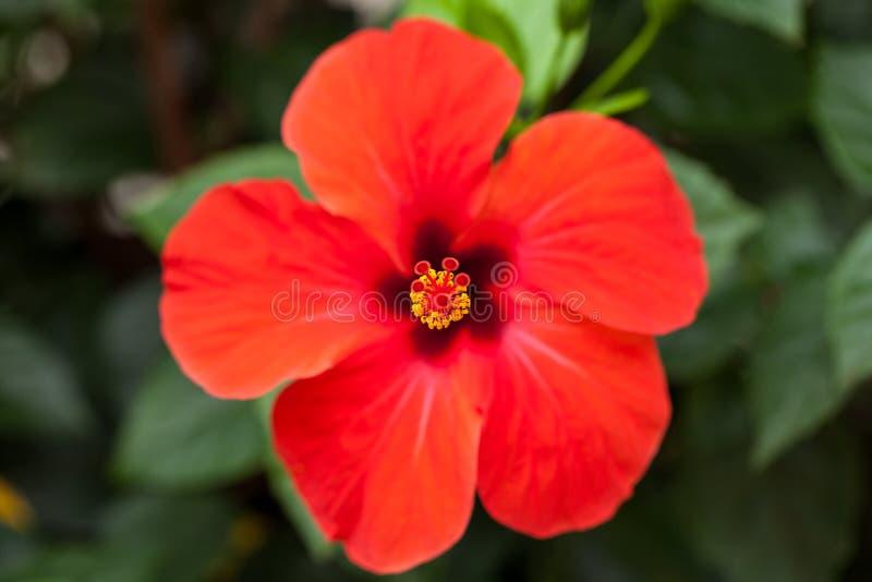 美丽的红色木槿花在室外的夏天 库存照片