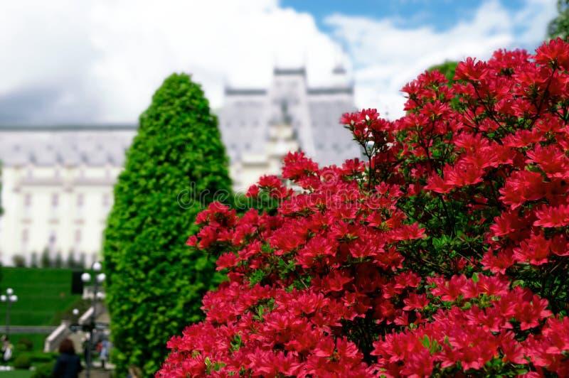 美丽的红色杜娟花在以哥特式宫殿为背景的春天 库存图片