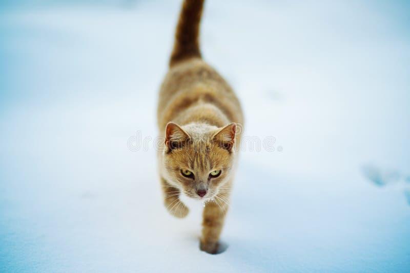 美丽的红色猫走在雪的,冬时 免版税库存图片
