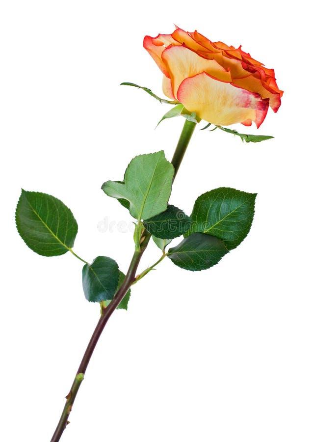 美丽的红色玫瑰唯一黄色 库存图片