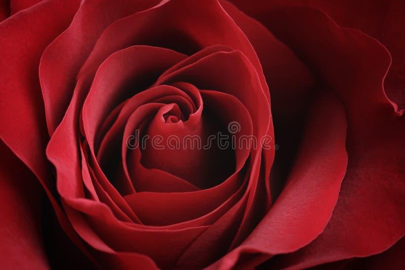 美丽的红色玫瑰特写镜头宏观射击  图库摄影