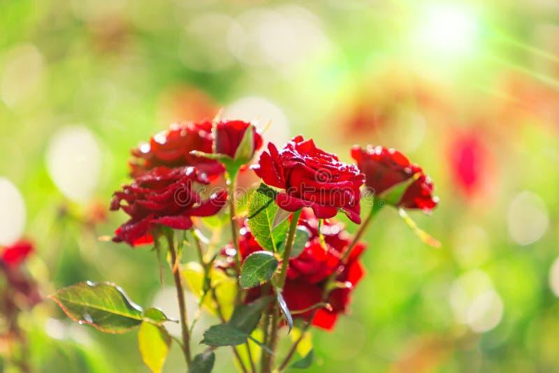 美丽的红色玫瑰用水在绿色庭院背景a滴下 免版税库存图片