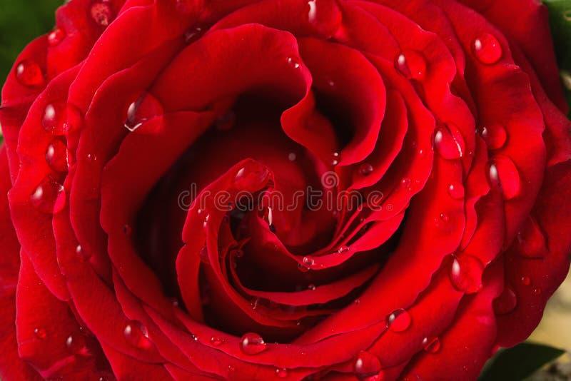 美丽的红色玫瑰用水滴下作为背景 免版税库存图片