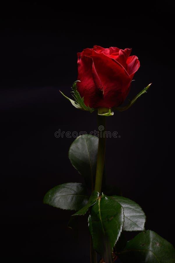 美丽的红色玫瑰以在黑背景的强的对比 Dra 免版税库存图片