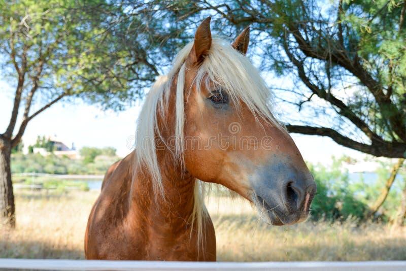 美丽的红色白肤金发的马画象  免版税库存照片