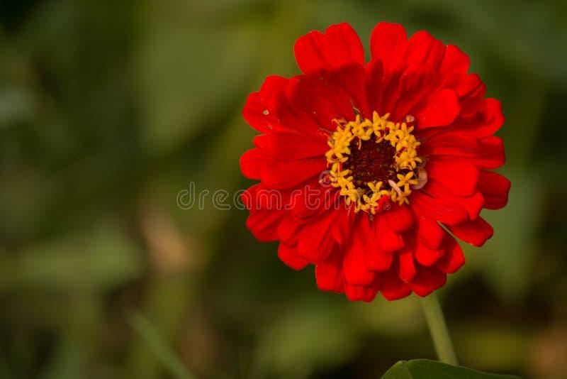 美丽的红色百日菊属 图库摄影