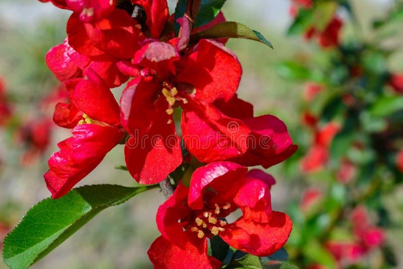美丽的红色花在公园天 库存照片