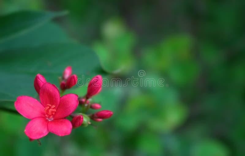美丽的红色花在庭院里有绿色背景 库存图片