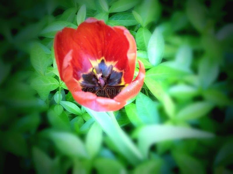 美丽的红色花在绿色叶子床上  库存照片