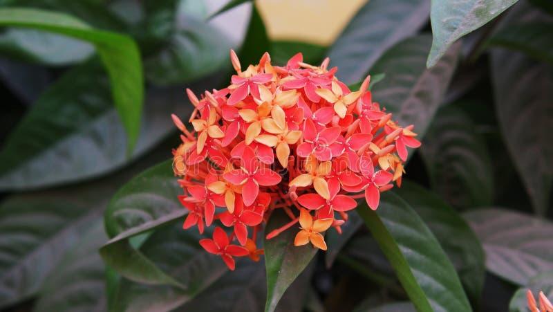 美丽的红色花摄影在庭院里 库存图片