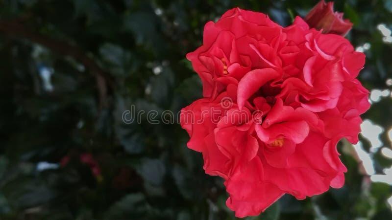 美丽的红色花灌木,绿色植物 库存图片