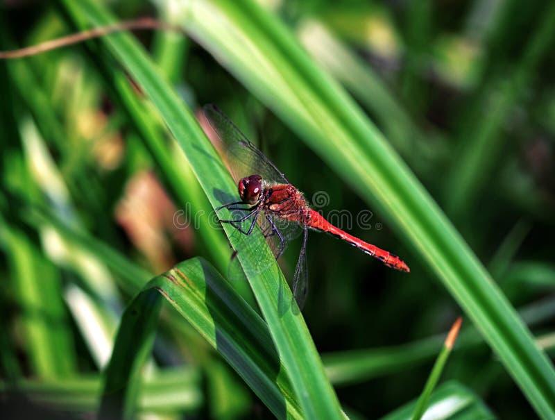 美丽的红色蜻蜓,基于草叶的Sympetrum sanguineum在绿色背景的在池塘附近 掠食性昆虫 免版税库存图片