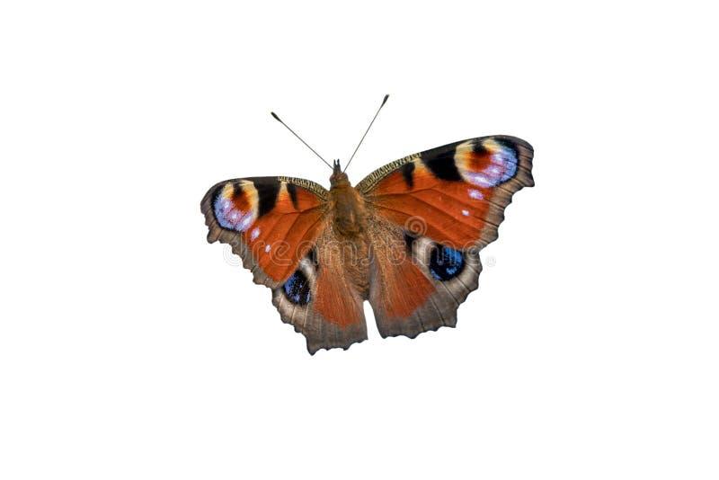 美丽的红色蝴蝶-在白色背景隔绝的昼夜孔雀眼睛 免版税库存图片