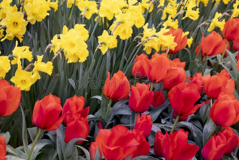 美丽的红色郁金香和黄色花在公园 免版税图库摄影