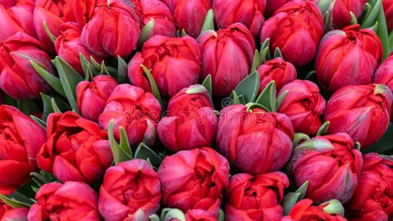 美丽的红色郁金香巨型花束作为背景的 图库摄影