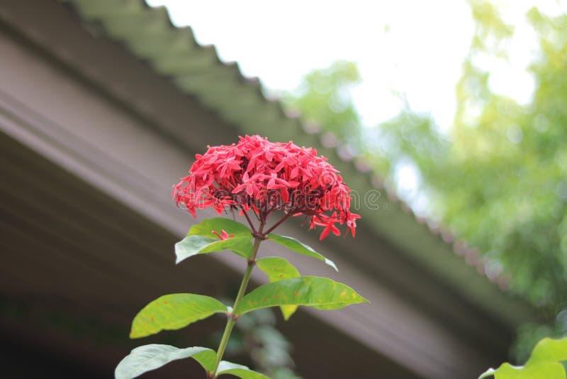 美丽的红色钉花在庭院里在曼谷,泰国 免版税库存照片