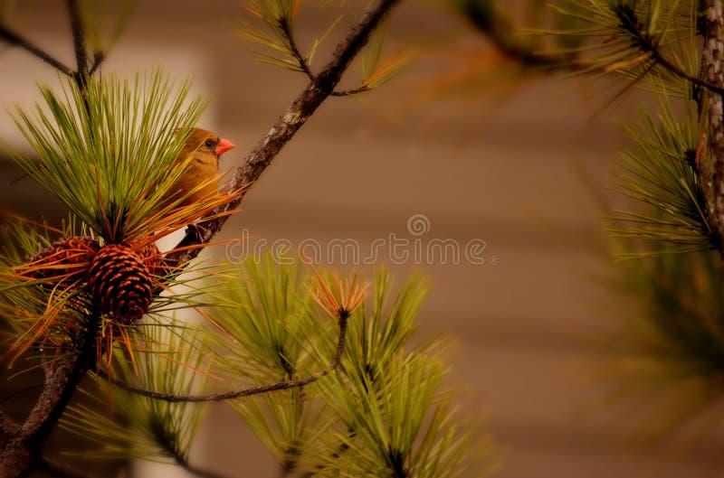 美丽的红色鸟坐分支 免版税图库摄影