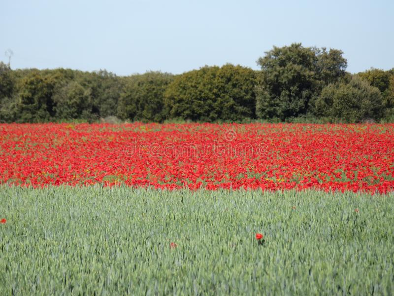 美丽的红色鸦片与谷物混合的有很多花 免版税库存照片
