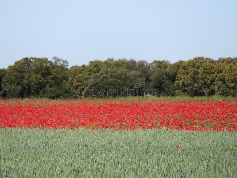美丽的红色鸦片与谷物混合的有很多花 库存图片