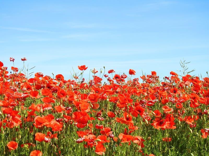 美丽的红色鸦片在领域,立陶宛开花 库存照片