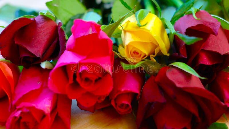 美丽的红色,桃红色,黄色和橙色玫瑰,特写镜头宏指令 免版税库存照片