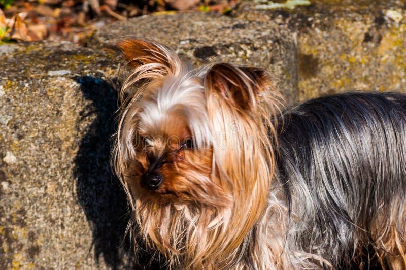 美丽的约克夏狗玩具摄影  图库摄影
