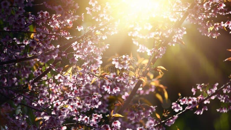 美丽的绽放桃红色樱花佐仓在早晨su开花 免版税库存图片