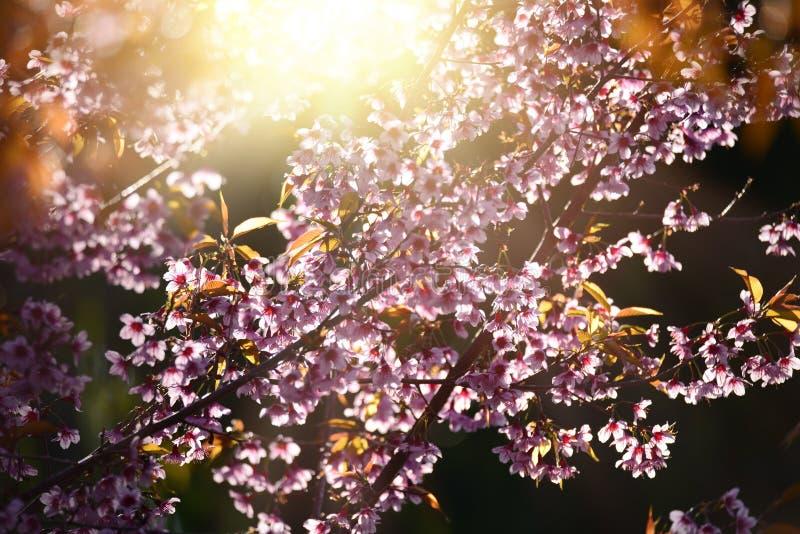 美丽的绽放桃红色樱花佐仓在早晨su开花 库存图片
