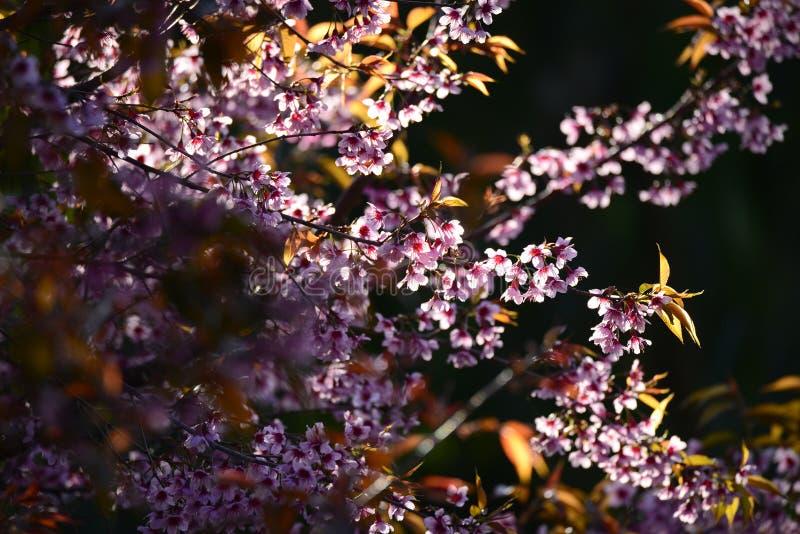 美丽的绽放桃红色樱花佐仓在早晨su开花 免版税库存照片