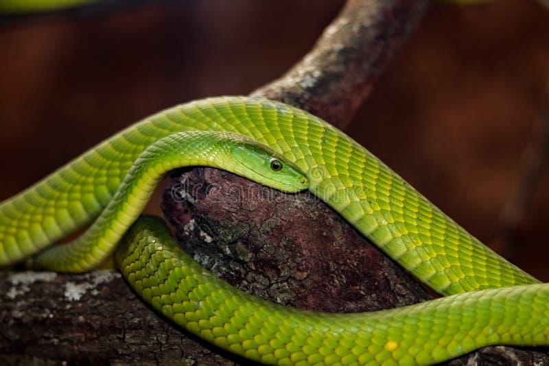 美丽的绿眼镜蛇 库存图片