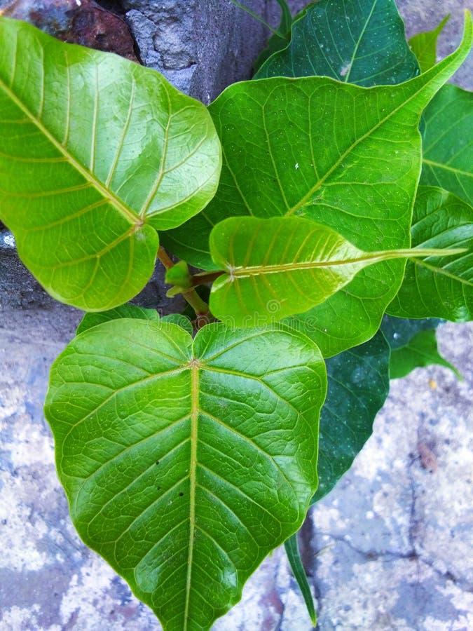 美丽的绿色和发光泽的叶子 免版税库存图片