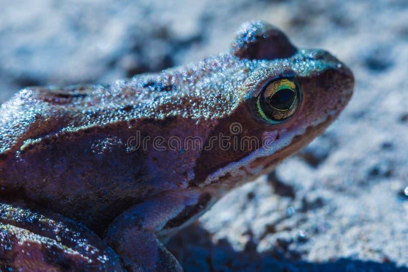美丽的绿色和棕色小的青蛙或蟾蜍的宏观射击与大黄色眼睛在晴朗的smmer或春日 免版税库存照片