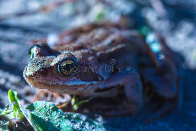 美丽的绿色和棕色小的青蛙或蟾蜍的宏观射击与大黄色眼睛在晴朗的smmer或春日 库存照片