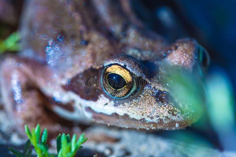 美丽的绿色和棕色小的青蛙或蟾蜍的宏观射击与大黄色眼睛在晴朗的smmer或春日 库存图片