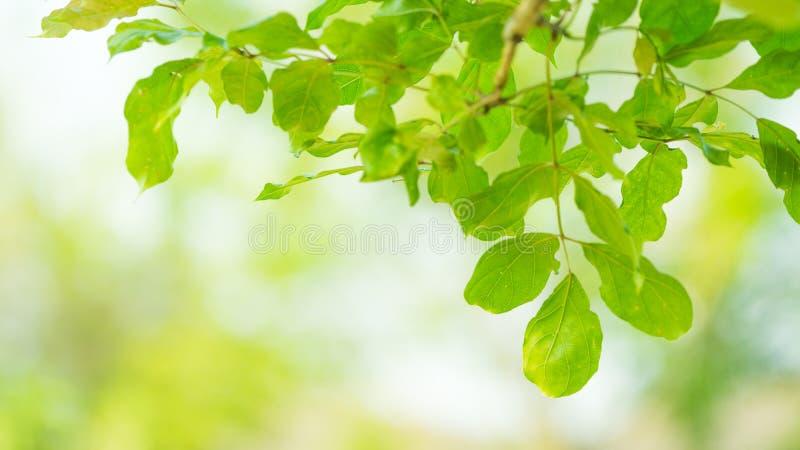 美丽的绿色新鲜的叶子的关闭在与拷贝空间的软的被弄脏的绿叶自然背景 五颜六色的室外绿色植物土地 库存照片
