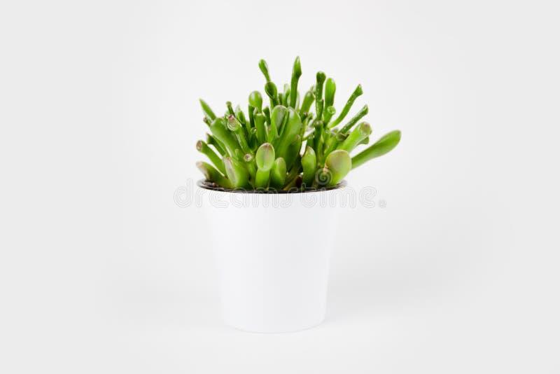 美丽的绿色景天树ovata Gollum或美元金钱室内植物特写镜头  免版税库存图片