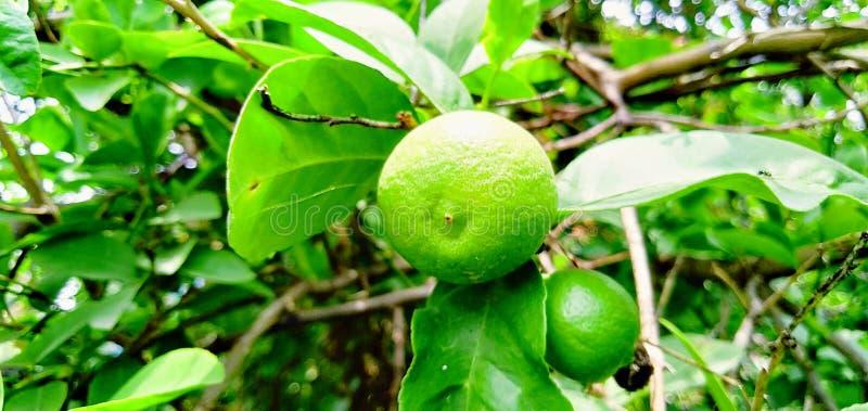 美丽的绿色柠檬果子和叶子 库存照片