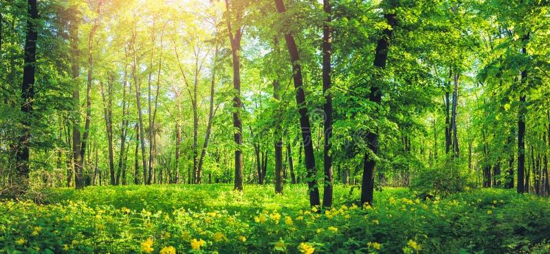 美丽的绿色森林全景在夏天 与黄色野花的自然风景 库存照片