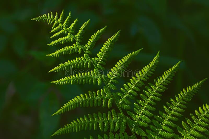 美丽的绿色蕨背景影像在夏天 免版税库存照片