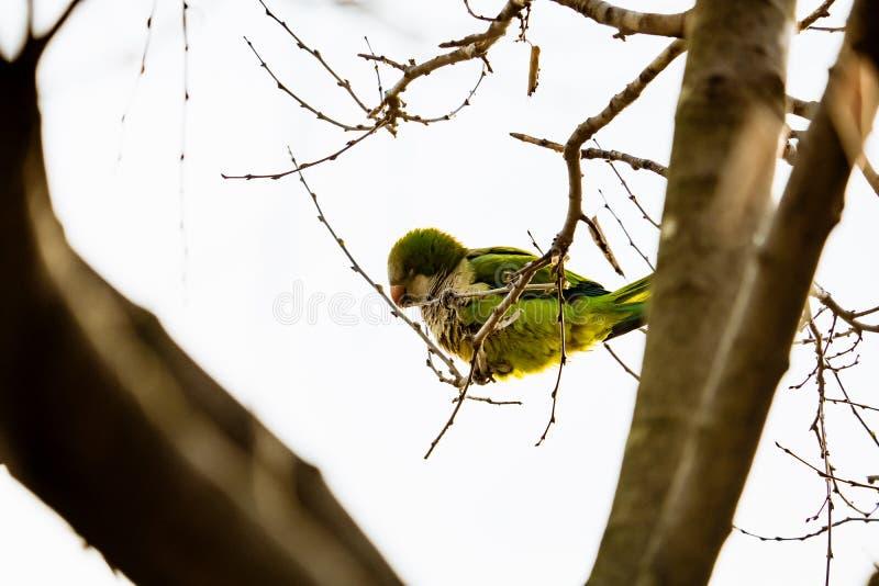美丽的绿色鹦鹉在巴塞罗那命名了Monk长尾小鹦鹉坐树枝 免版税库存照片